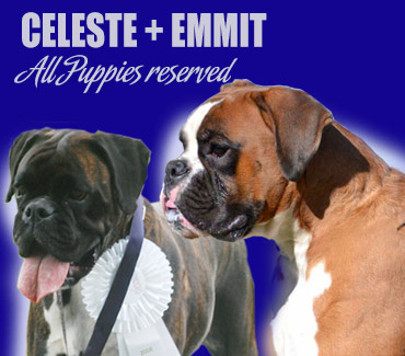 All Celeste's boxer puppies sold