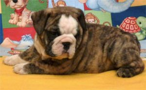 bulldog-puppy