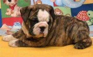 bulldog-puppy