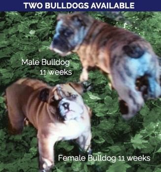 right-col-bulldogs-forsale