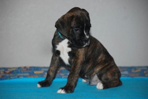 Boxer-puppy-seven-weeks01