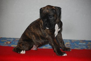 Boxer-puppy-seven-weeks04