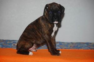 Boxer-puppy-seven-weeks05