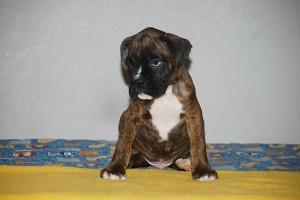 Boxer-puppy-seven-weeks08
