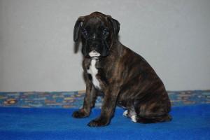 Boxer-puppy-seven-weeks10