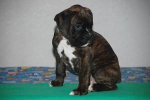 Boxer-puppy-seven-weeks12