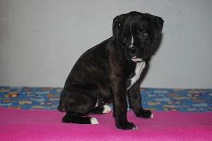 Boxer-puppy-seven-weeks14