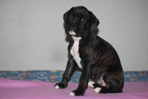Boxer-puppy-seven-weeks16