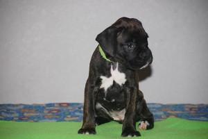 Boxer-puppy-seven-weeks17