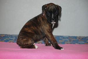 Boxer-puppy-seven-weeks19
