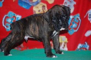 Boxer puppy six weeks old01