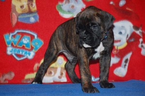 Boxer puppy six weeks old03