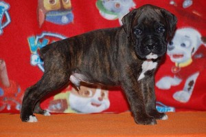 Boxer puppy six weeks old07