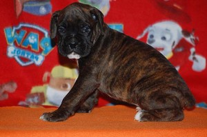 Boxer puppy six weeks old08