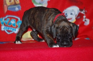 Boxer puppy six weeks old09