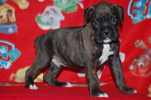 Boxer puppy six weeks old10