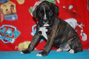 Boxer puppy six weeks old11