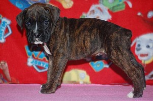 Boxer puppy six weeks old13