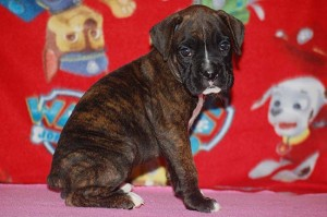 Boxer puppy six weeks old14
