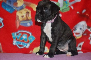 Boxer puppy six weeks old15