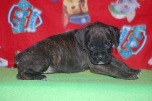 Boxer puppy six weeks old17