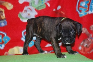 Boxer puppy six weeks old18