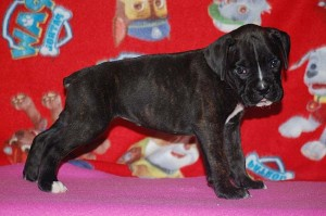 Boxer puppy six weeks old20