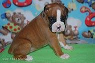 Minni-Emmit-puppy