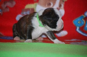 Boxer puppy 2 weeks old05