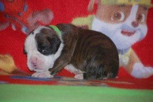 Boxer puppy 2 weeks old06