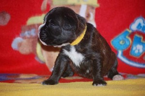 Boxer puppy 2 weeks old07