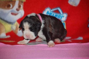 Boxer puppy 2 weeks old10