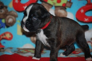 Boxer puppy 3 weeks old02