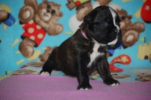 Boxer puppy 3 weeks old03