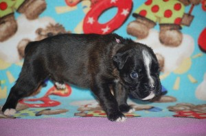 Boxer puppy 3 weeks old04