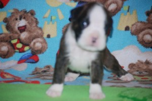 Boxer puppy 3 weeks old05
