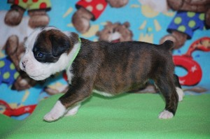 Boxer puppy 3 weeks old06