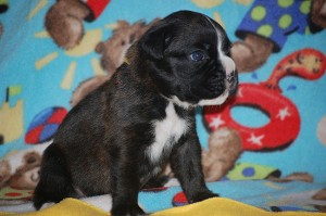 Boxer puppy 3 weeks old07