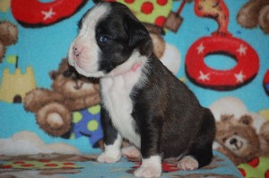 Boxer puppy 3 weeks old09