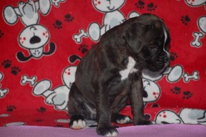 Boxer puppy 6 wks old03