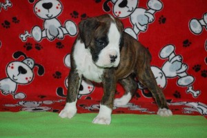 Boxer puppy 6 wks old05
