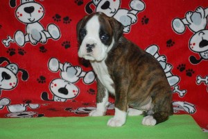 Boxer puppy 6 wks old06