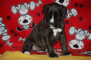 Boxer puppy 6 wks old07