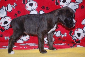 Boxer puppy 6 wks old08