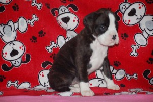 Boxer puppy 6 wks old09