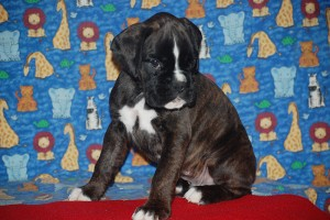Boxer puppy for sale01