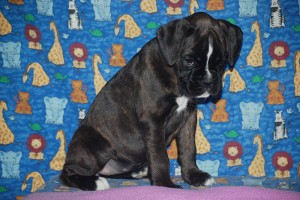 Boxer puppy for sale03