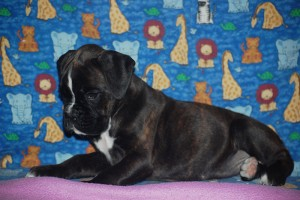 Boxer puppy for sale04