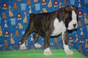 Boxer puppy for sale05
