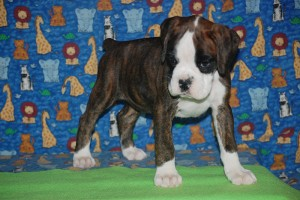 Boxer puppy for sale06